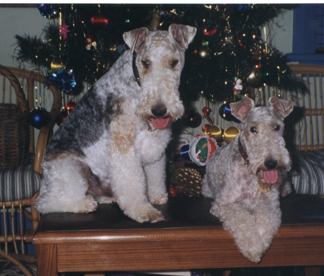 Fox Terrier Origin & History (Inc)